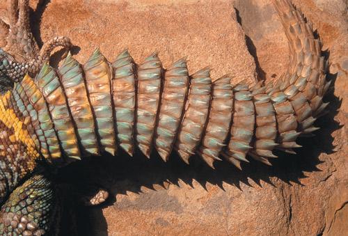 25857-uromastyxuromastyx-lizard-3-a360688e